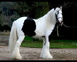 Gypsy Vanner - photo courtesy Google Images