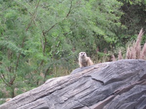 Meerkat - Animal Kingdom Park - Walt Disney World - 2012