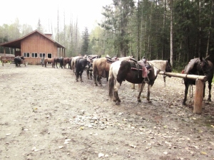 The trusty steeds - Chilkoot Horseback Adventures - Dyea, Alaska. Photo by P. Rickrode 2014.