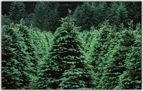 Xmas tree farm