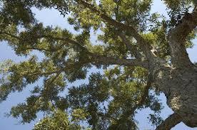 Pecan Tree. Courtesy Google Images