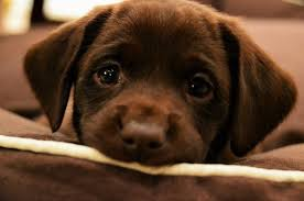 choc-lab-puppy