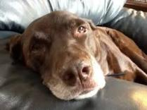 old choc lab