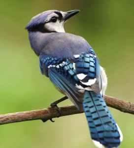 bird blue animals birds